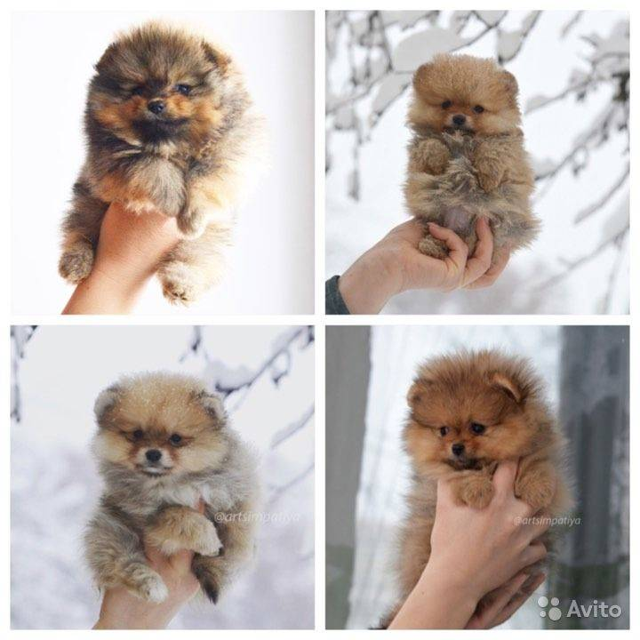 Как выглядит померанский шпиц: фото собак, описание стандарта, разновидности породы и основные окрасы + выбор щенка
