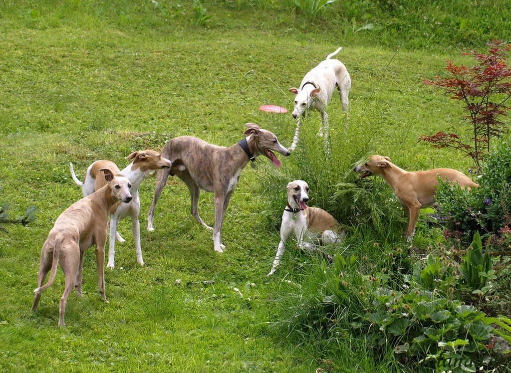 Уиппет собака. описание, особенности, уход и цена породы уиппет | животный мир