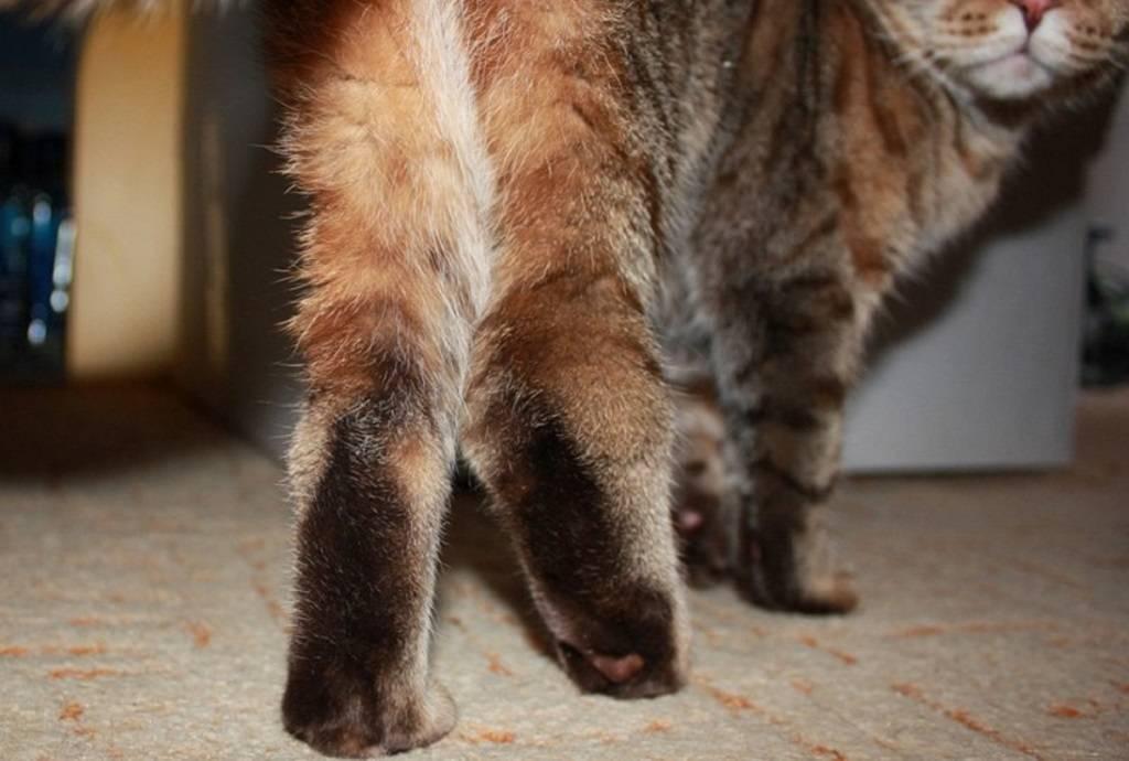 """Асцит (водянка) у кошек - причины и лечение асцита брюшной полости в москве. ветеринарная клиника """"зоостатус"""""""