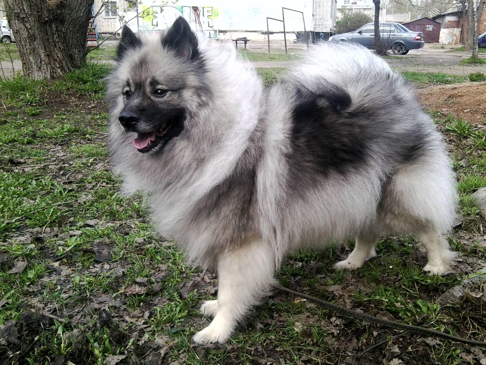 Немецкая волчья собака кеесхонд, описание породы и характер