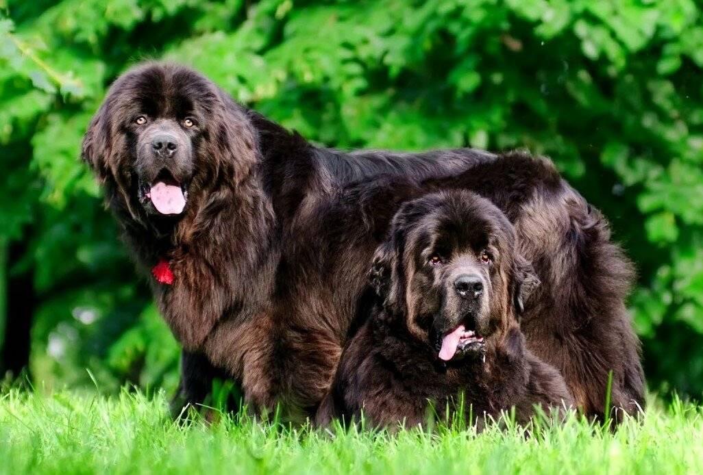 Ньюфаундленд — добродушный великан ⋆ собакапедия