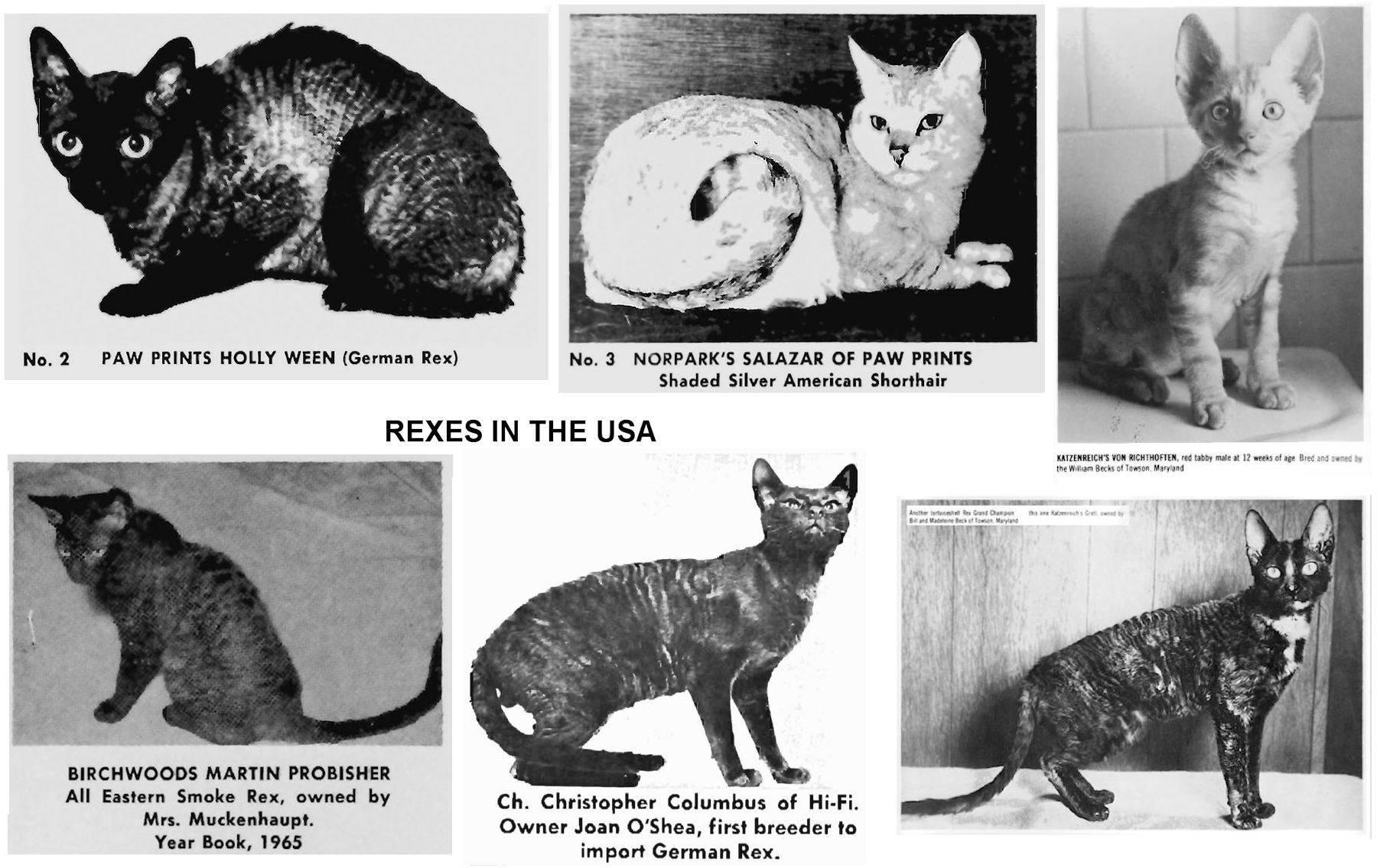 Кошки рексы (23 фото): описание немецких и богемских, голландских и других пород котов рексов