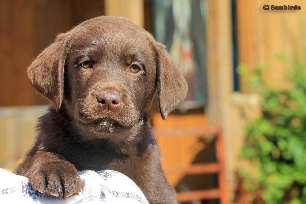 Шоколадный лабрадор: брак или порода наличие коричневого окраса с голубыми глазами