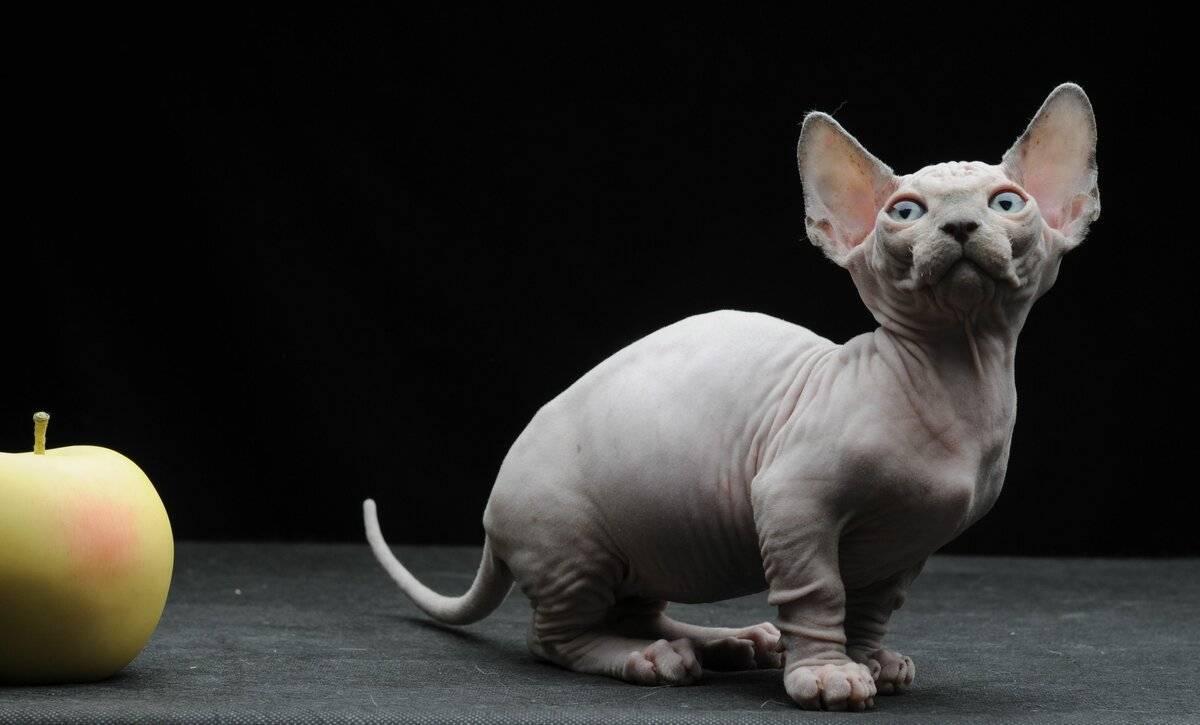 Самые маленькие породы кошек
