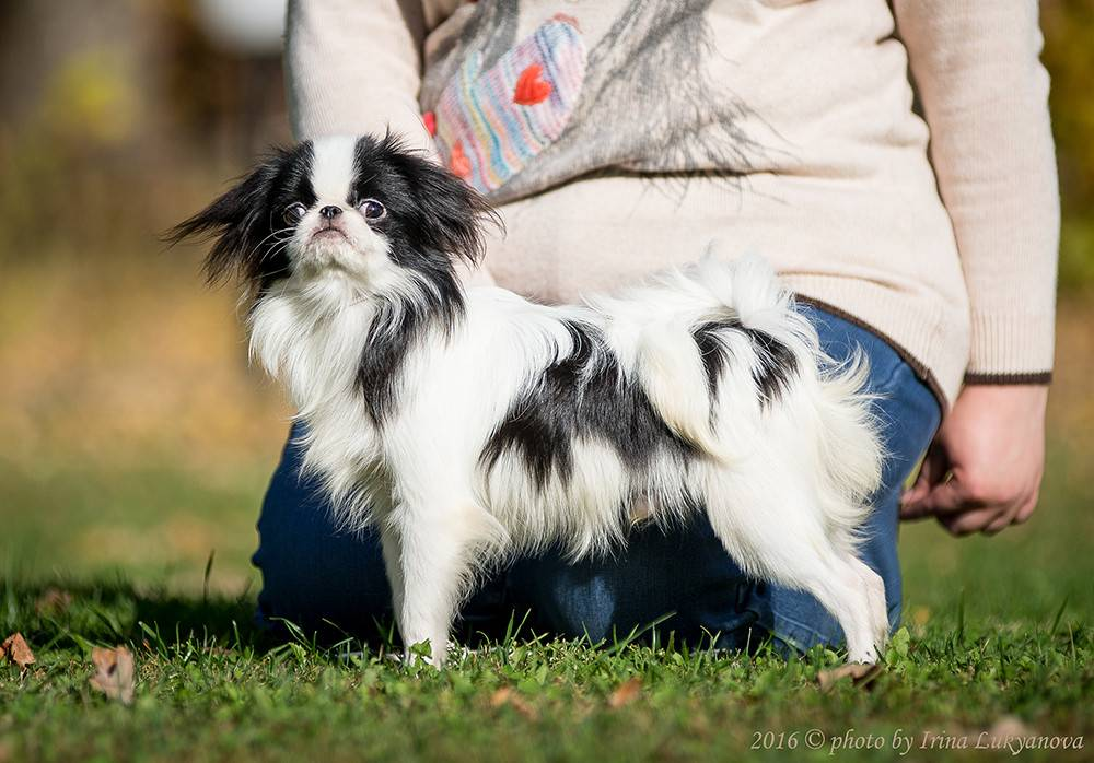 Японский хин - описание и характер собаки, воспитание щенков, содержание и кормление, отзывы владельцев