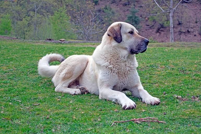Анатолийская овчарка (турецкий акбаш)