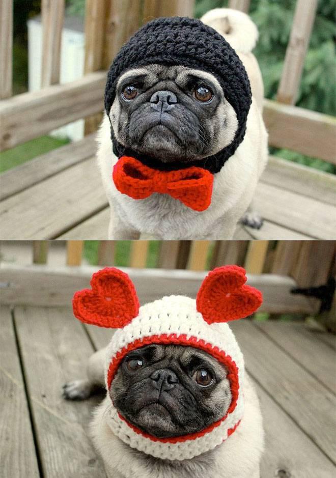 Смешные мопсы — прикольные фото и веселые видео с собаками этой породы