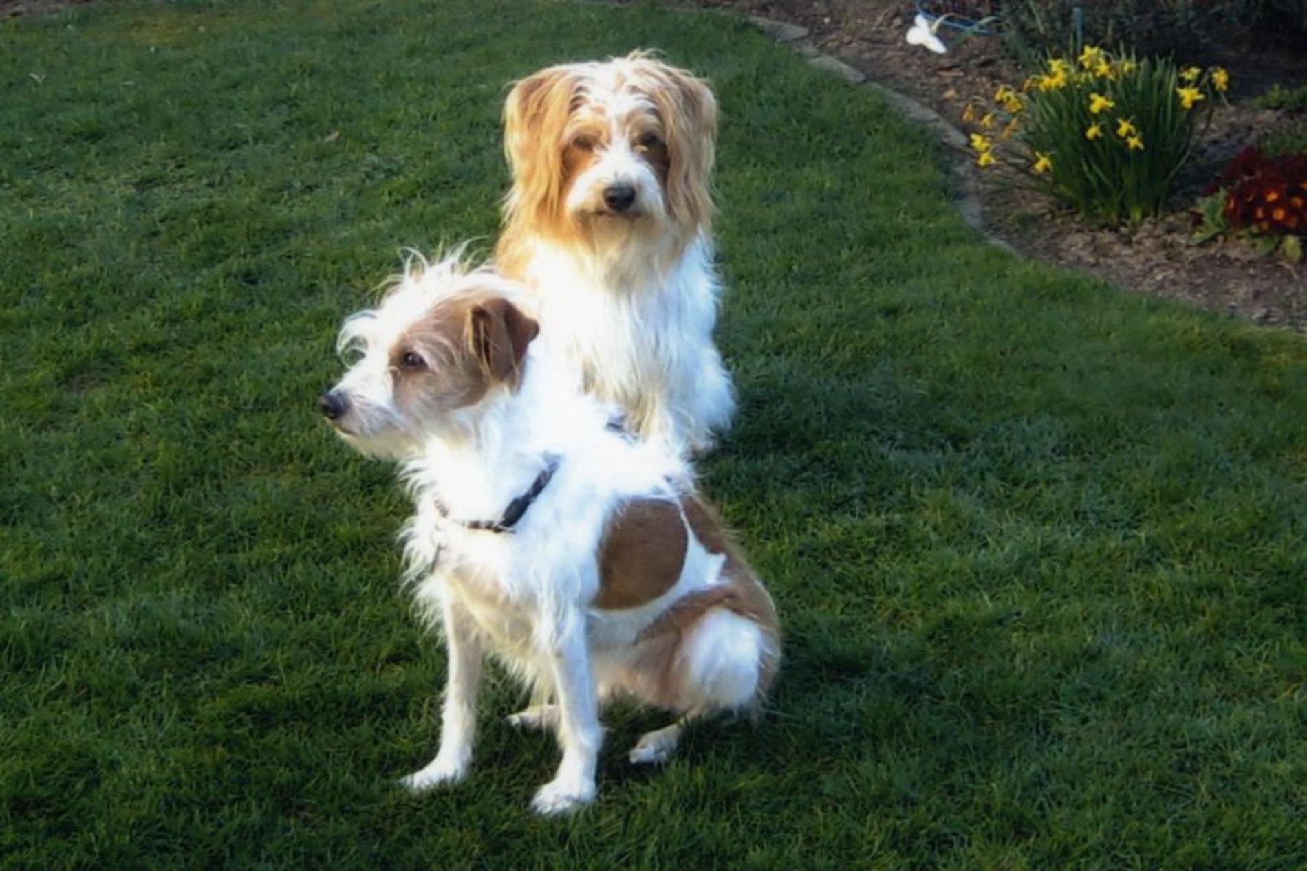 Кромфорлендер.описание порды, характер, фото | все о собаках