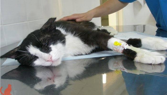 Исследование мочеполовой системы кошек