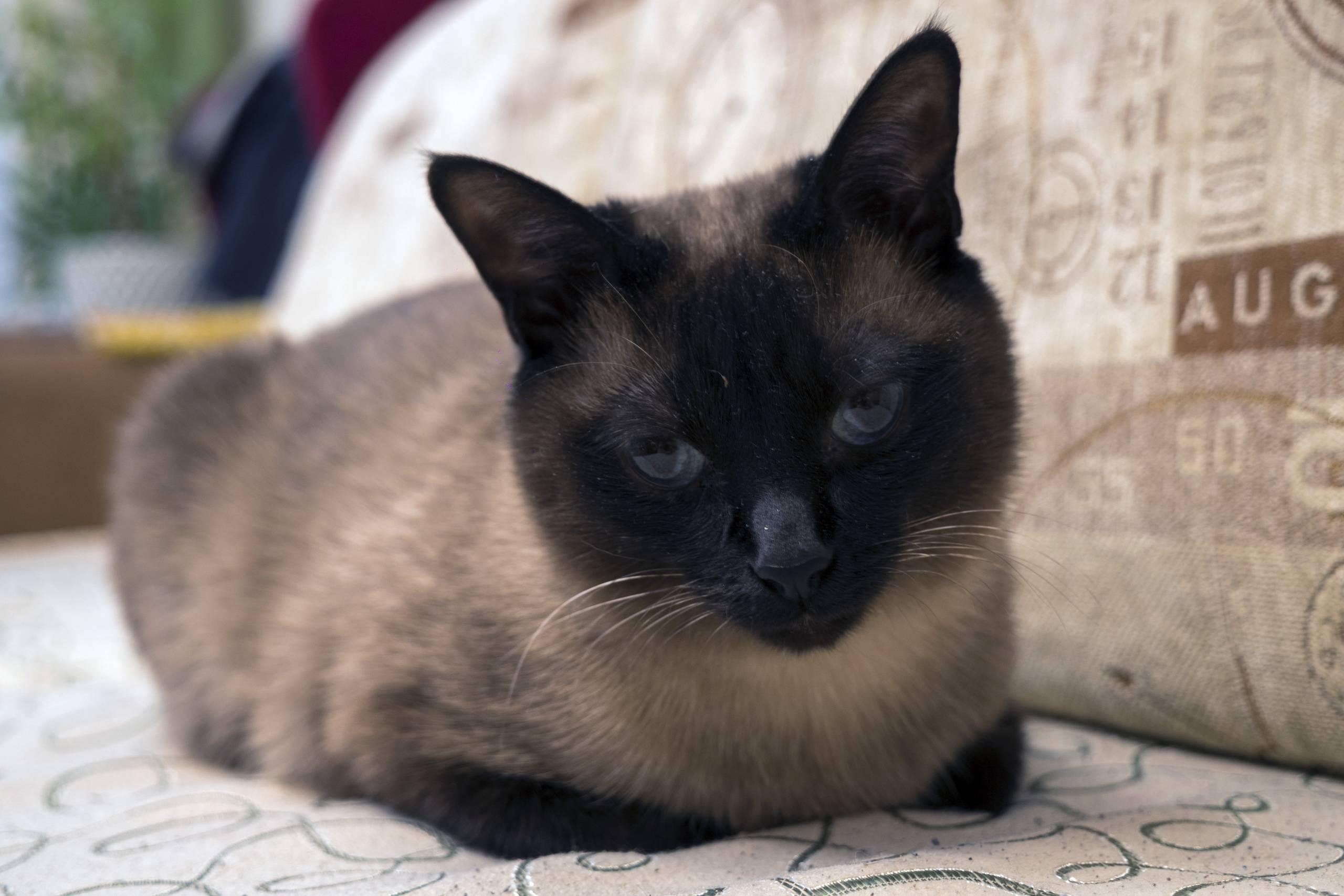 Сиамская кошка: характер, описание породы и фото