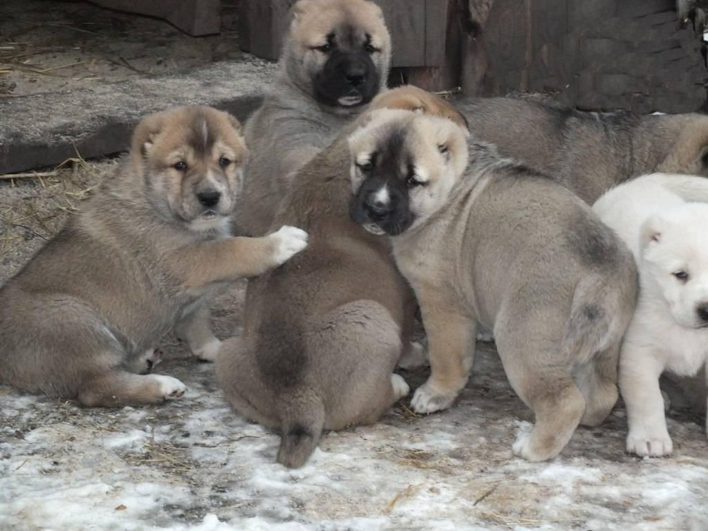 Имя для собаки мальчика алабая