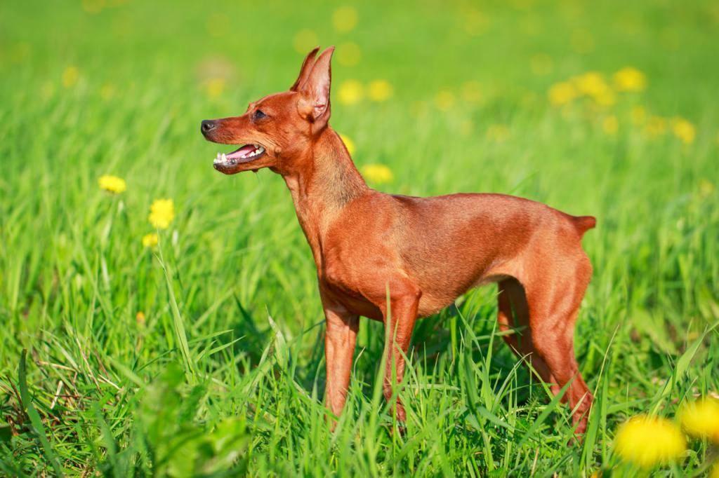 Породы собак, которые входят в группу пинчеры