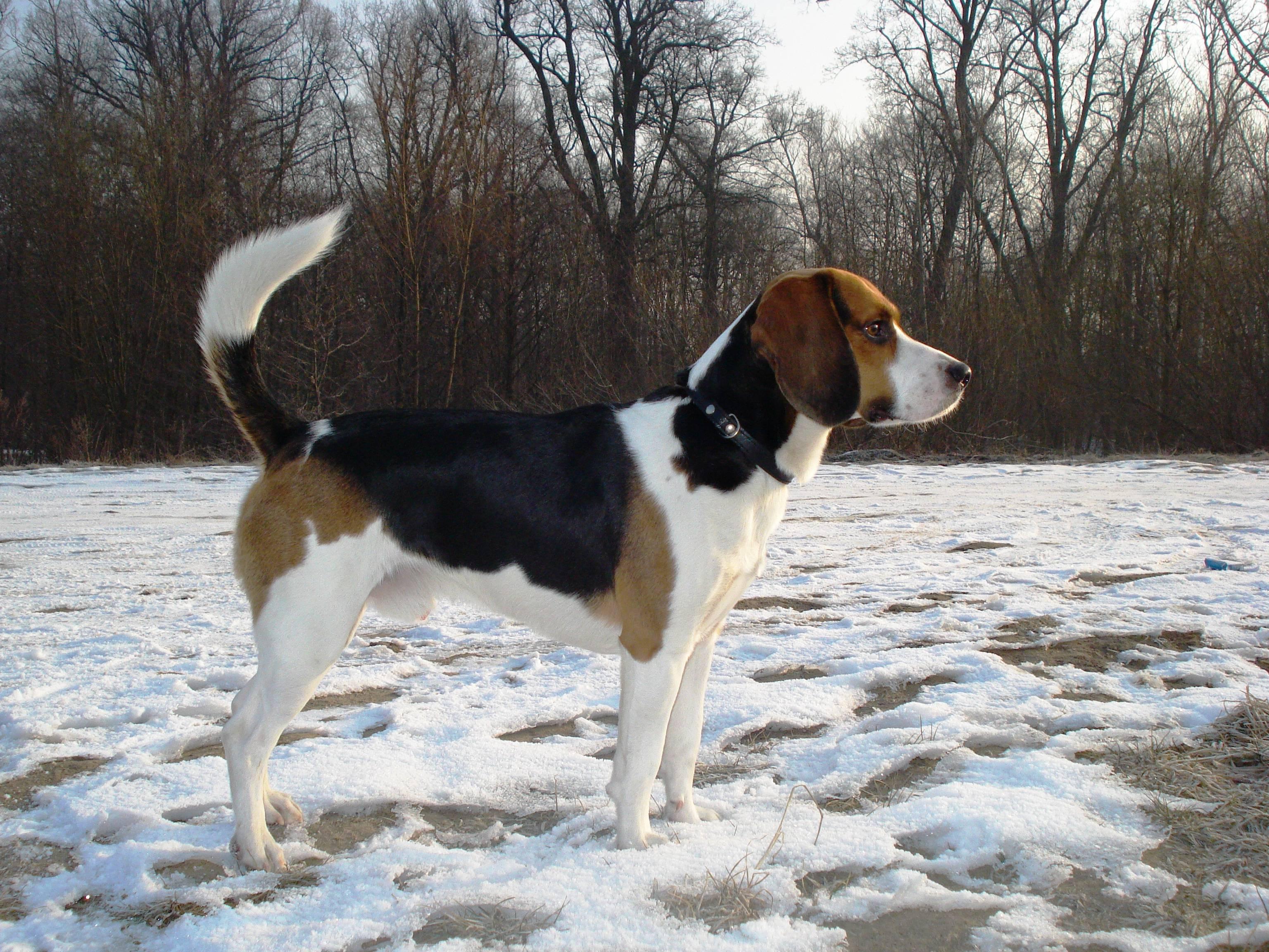 Описание эстонской гончей собаки: особенности внешности и характера