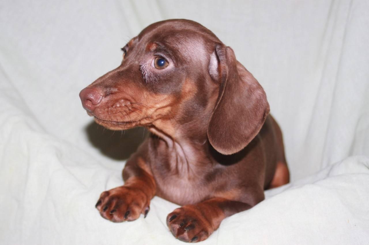 Чихуахуа: длинношерстные, пушистые, гладкошерстные, мини, карликовые и иные разновидности маленьких и больших собак и щенков, описание породы, фото