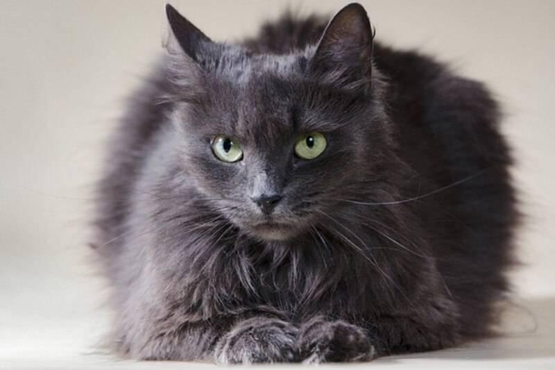 Порода кошек нибелунг — описание загадочных «кошек тумана» с противоречивым характером