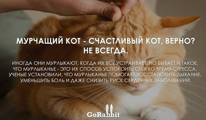 Как и зачем мурлыкают кошки: эмоции и механизм урчания