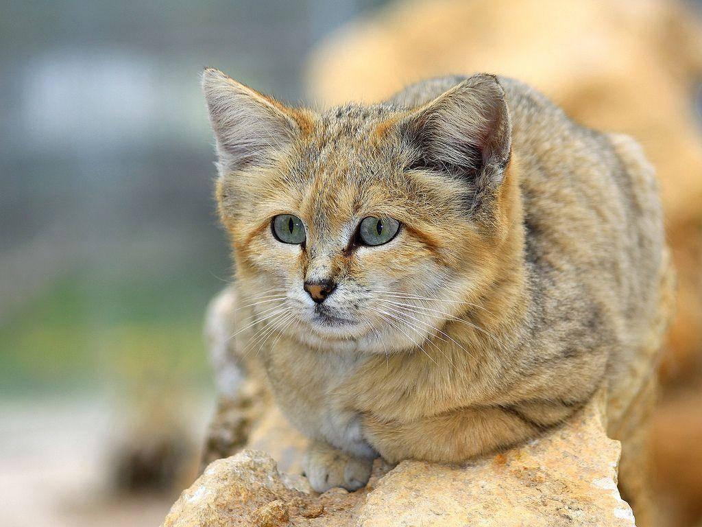 Барханный кот (арабская песчаная кошка): 73 фото, описание, окрас, характер