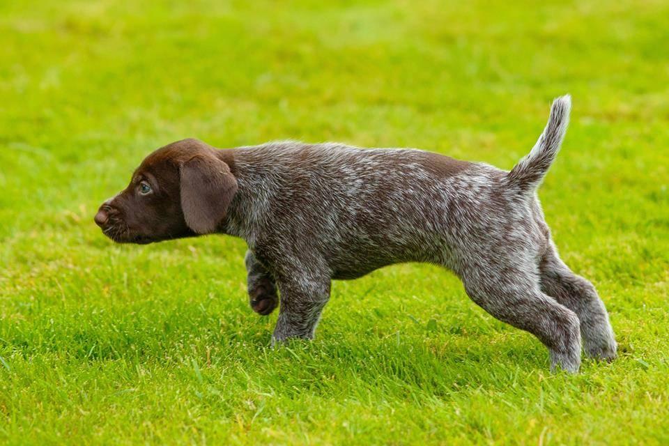 Порода собак дратхаар: фото, описание