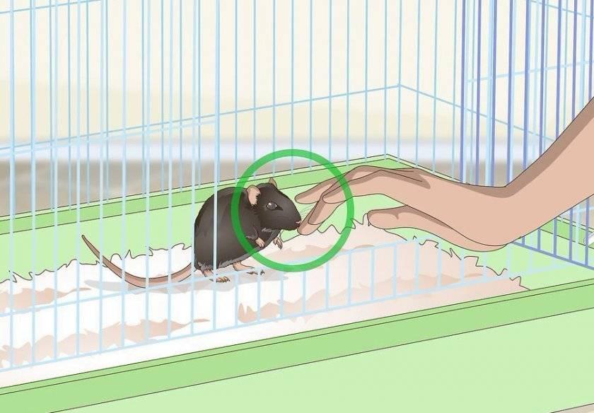 Дикие крысы - поимка и приручение