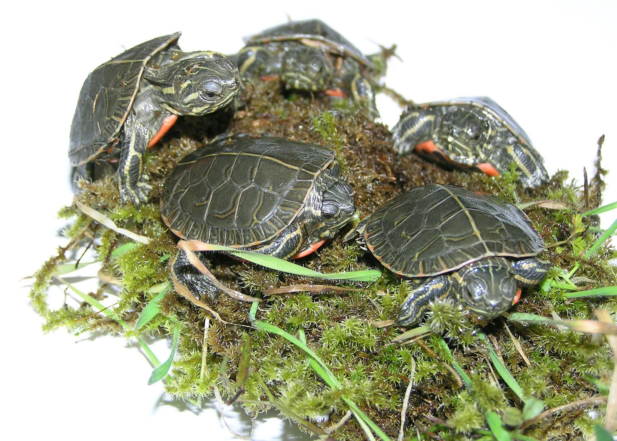 Черепаха - живой танк, особенности вида, образ жизни, размножение рептилий