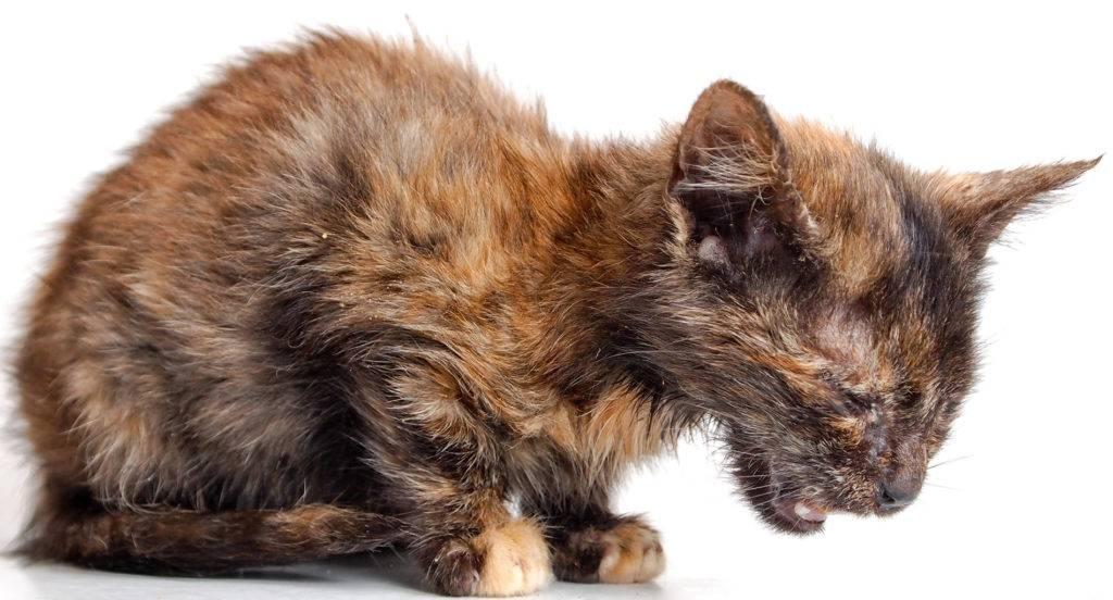 Энтерит у кошек: виды, симптомы и лечение