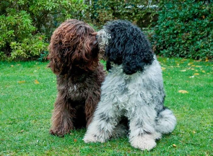 Барбет (26 фото): характеристика и особенности данной породы собак. почему эту породу называют французской водяной?