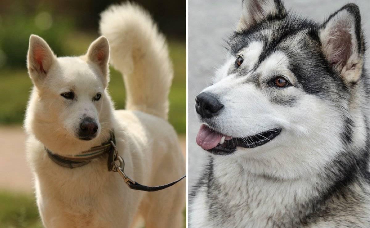 Помесь хаски и лайки: как выглядит смесь на фото и в каком уходе нуждаются щенки скрещенные с двух пород собак
