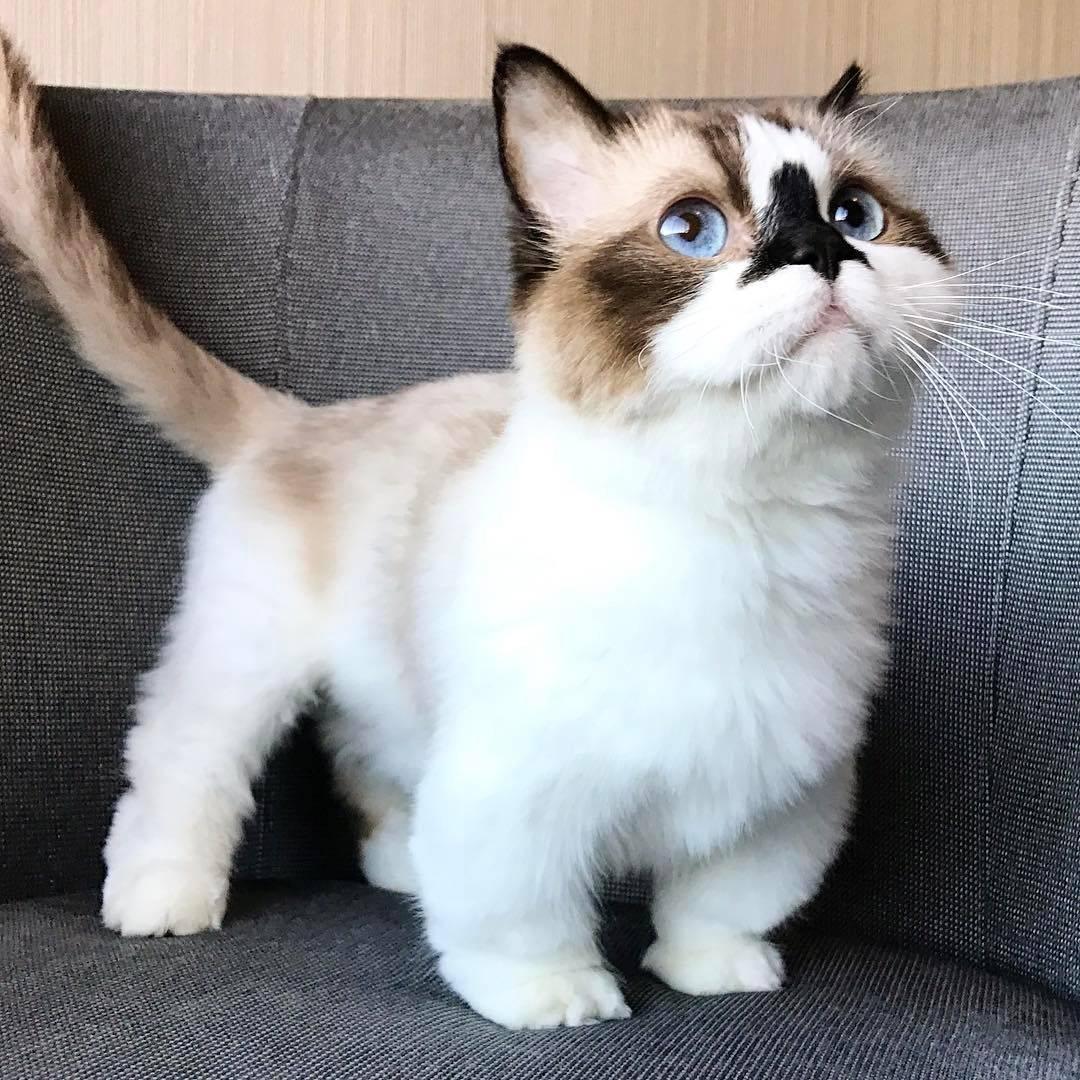 Манчкин: кот с короткими лапками