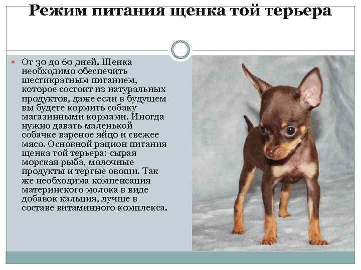 Русский той-терьер: фото, купить, видео, цена, содержание дома