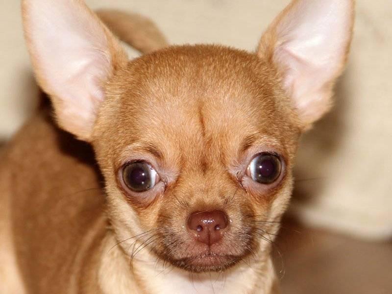 Клички для чихуахуа: лучшие имена для собак мальчиков и девочек