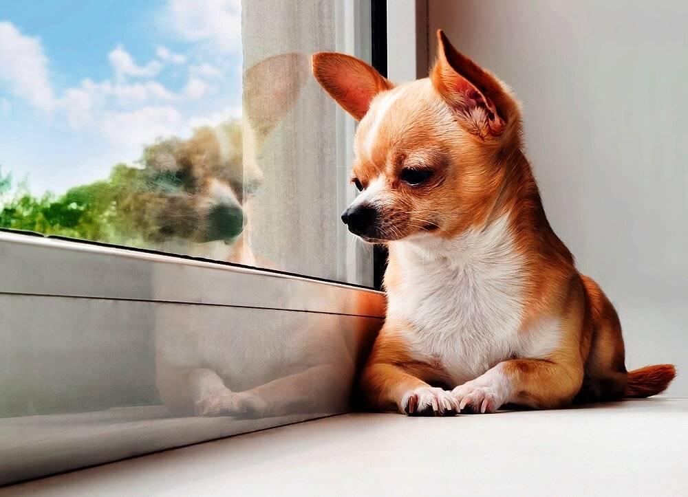 Породы маленьких собак для квартиры: критерии выбора питомцевс описанием и фотографиями