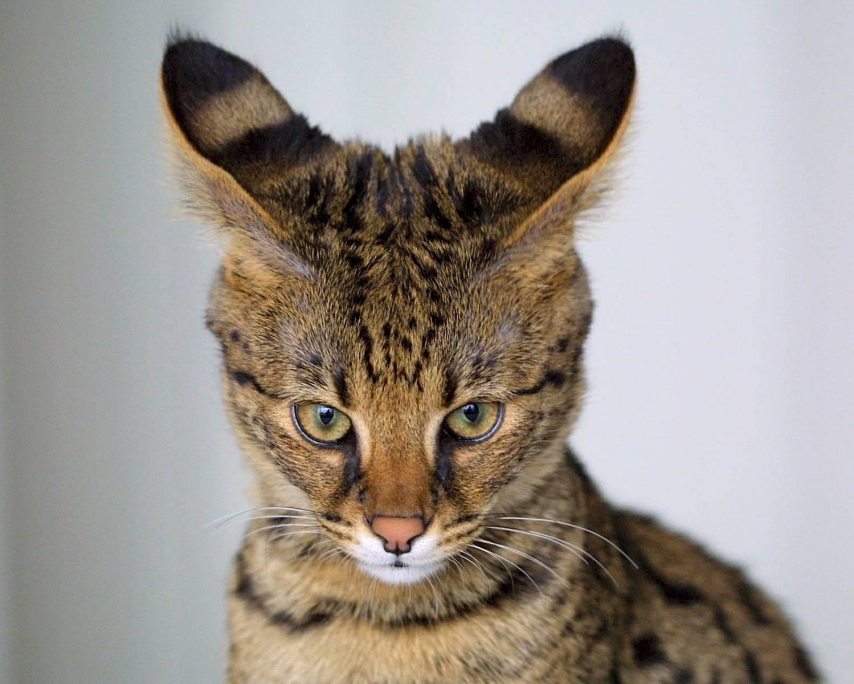 Кошки с большими ушами: список и название пород