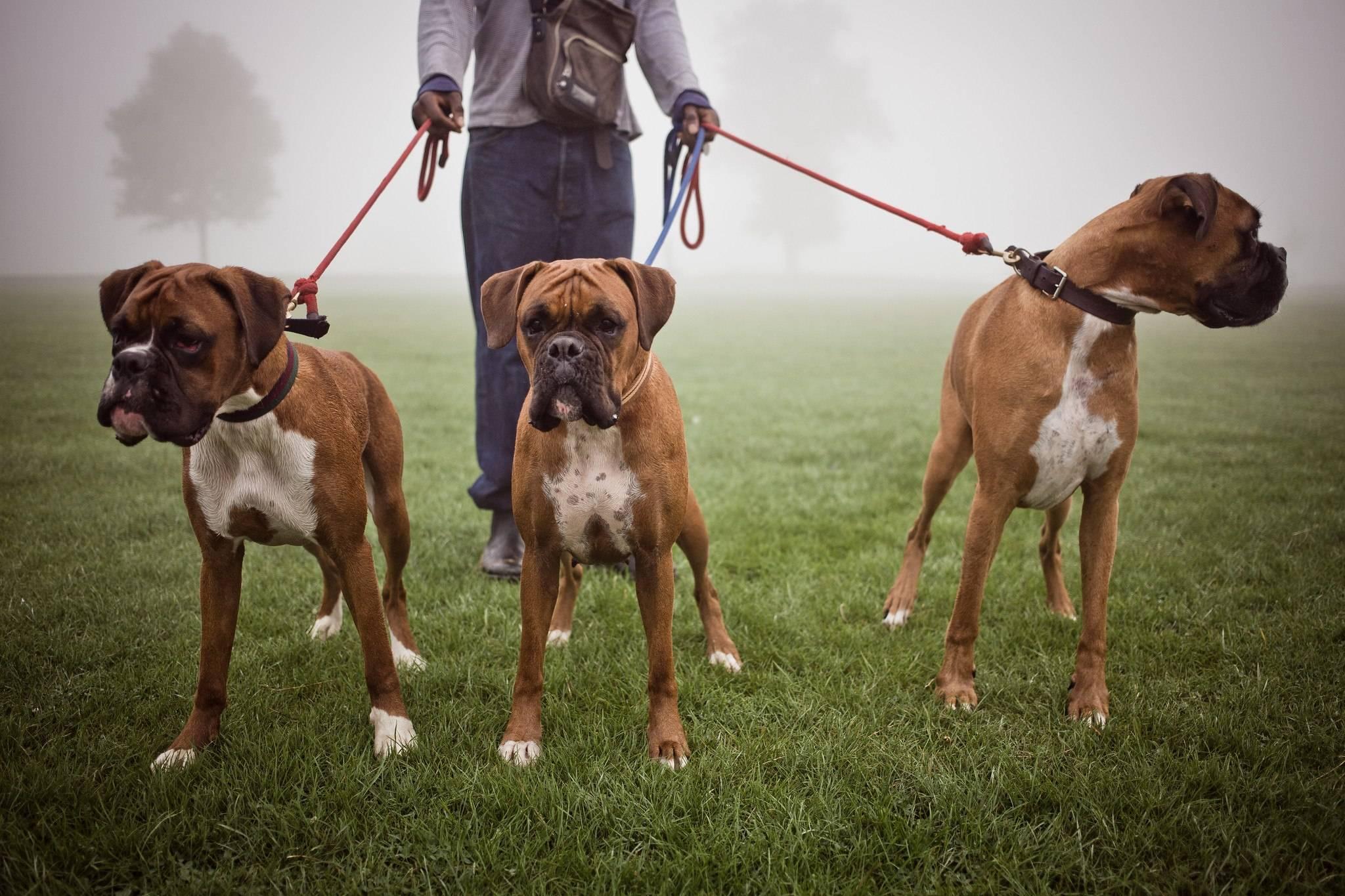 Топ 10 самых сильных в мире пород собак | все о собаках
