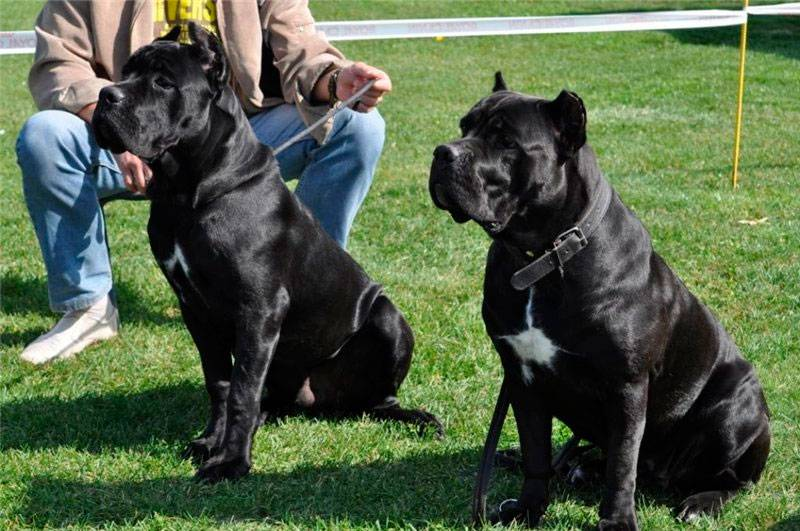 Как правильно дрессировать кане-корсо   dog-care - журнал про собак