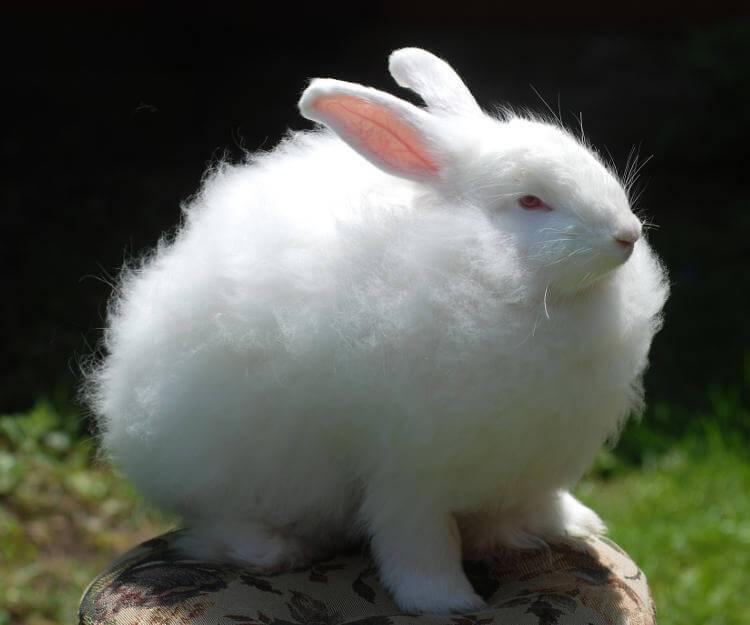 Ангорский кролик: разведение, уход, содержание и питание