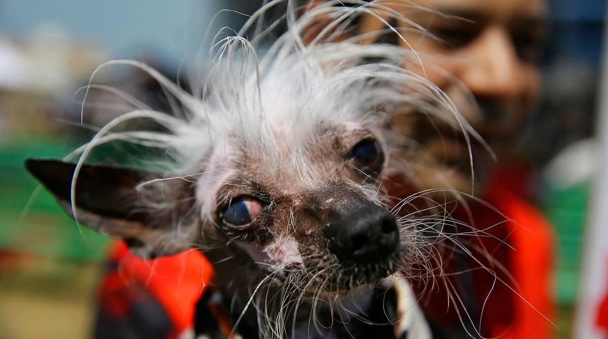 Список самых уродливых собак в мире - фото