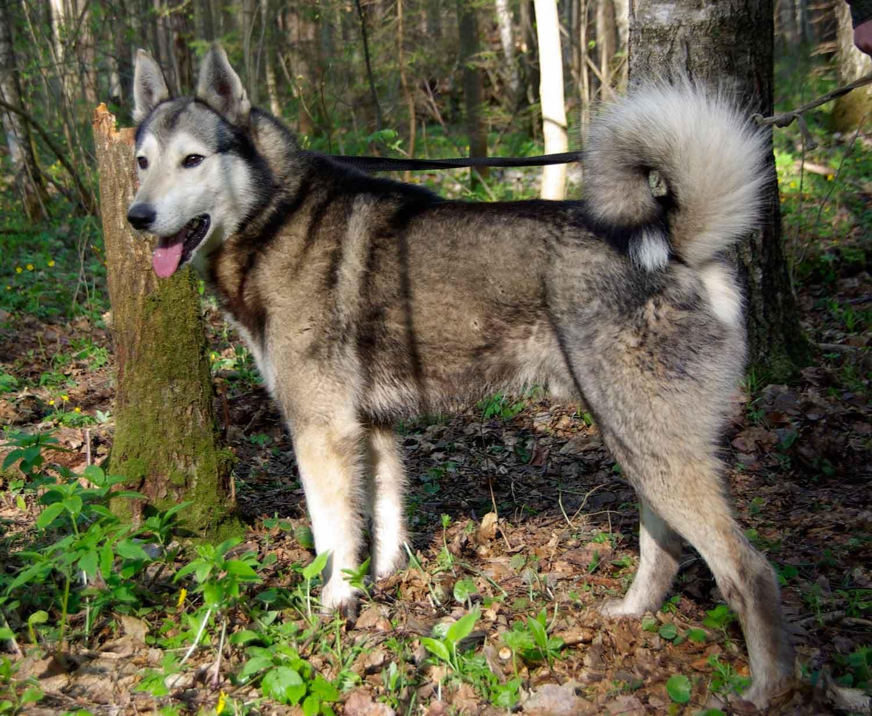 Западносибирская лайка – энциклопедия о собаках