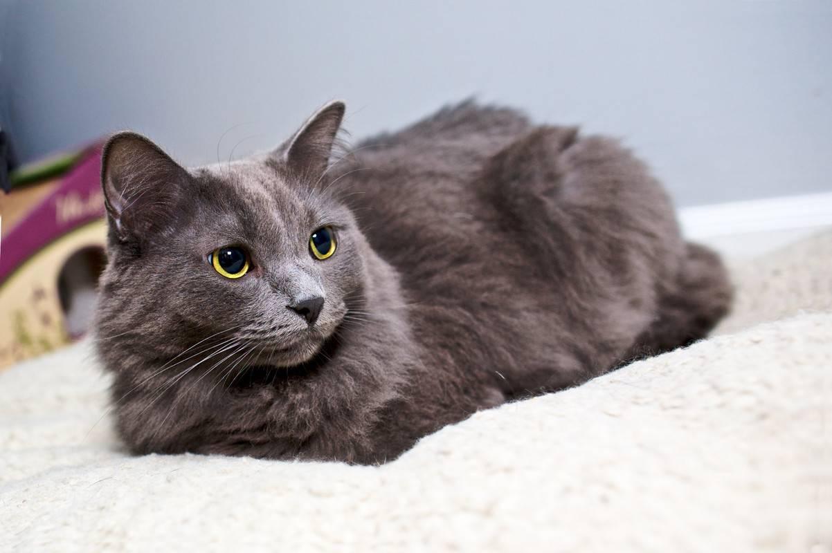 Кошка нибелунг – загадочное дитя тумана