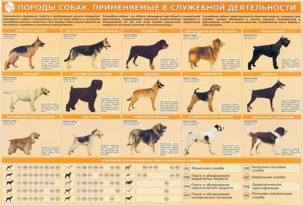 Как выбрать щенка немецкой овчарки — на что обратить внимание при выборе питомца