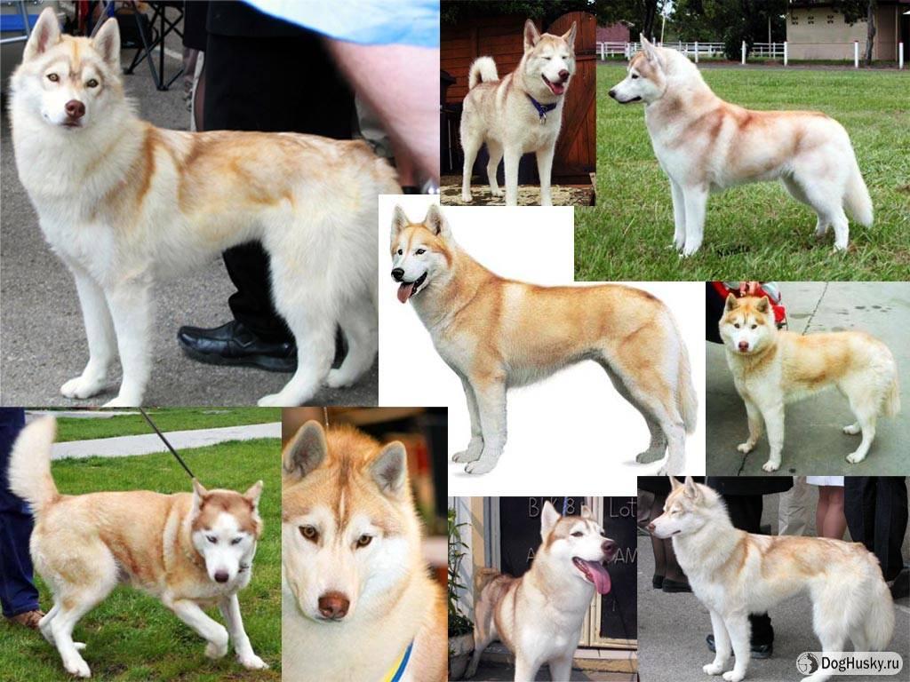 Белый хаски (33 фото): описание пушистых белых щенков с голубыми глазами, особенности окраса