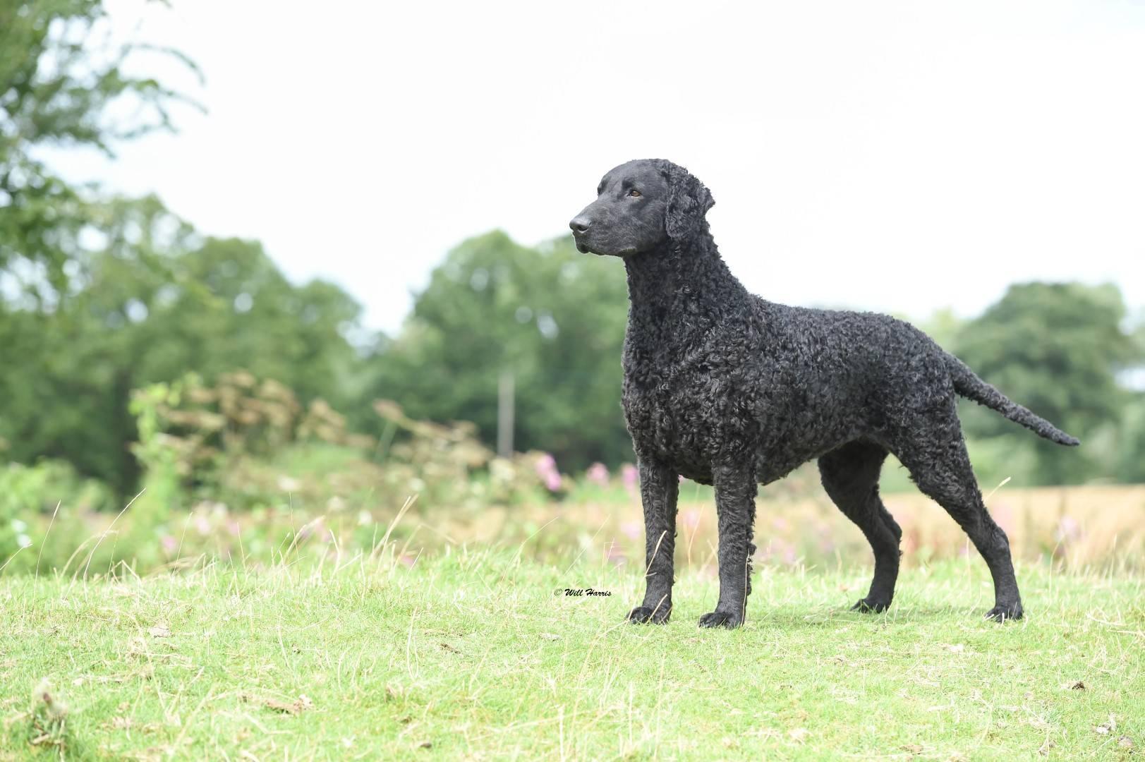 Прямошерстный ретривер (флэт): описание породы собак с фото и видео