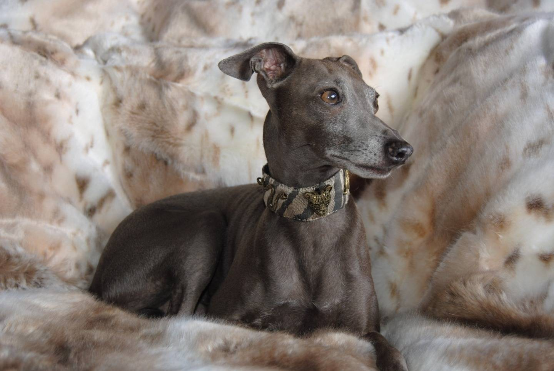 Грейхаунд собака. описание, особенности, уход и цена грейхаунда | животный мир