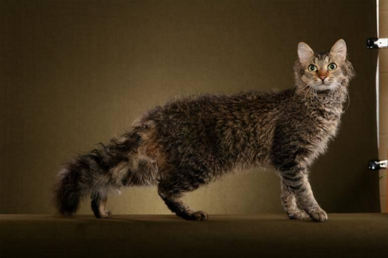 Лаперм - описание породы и характер кошки
