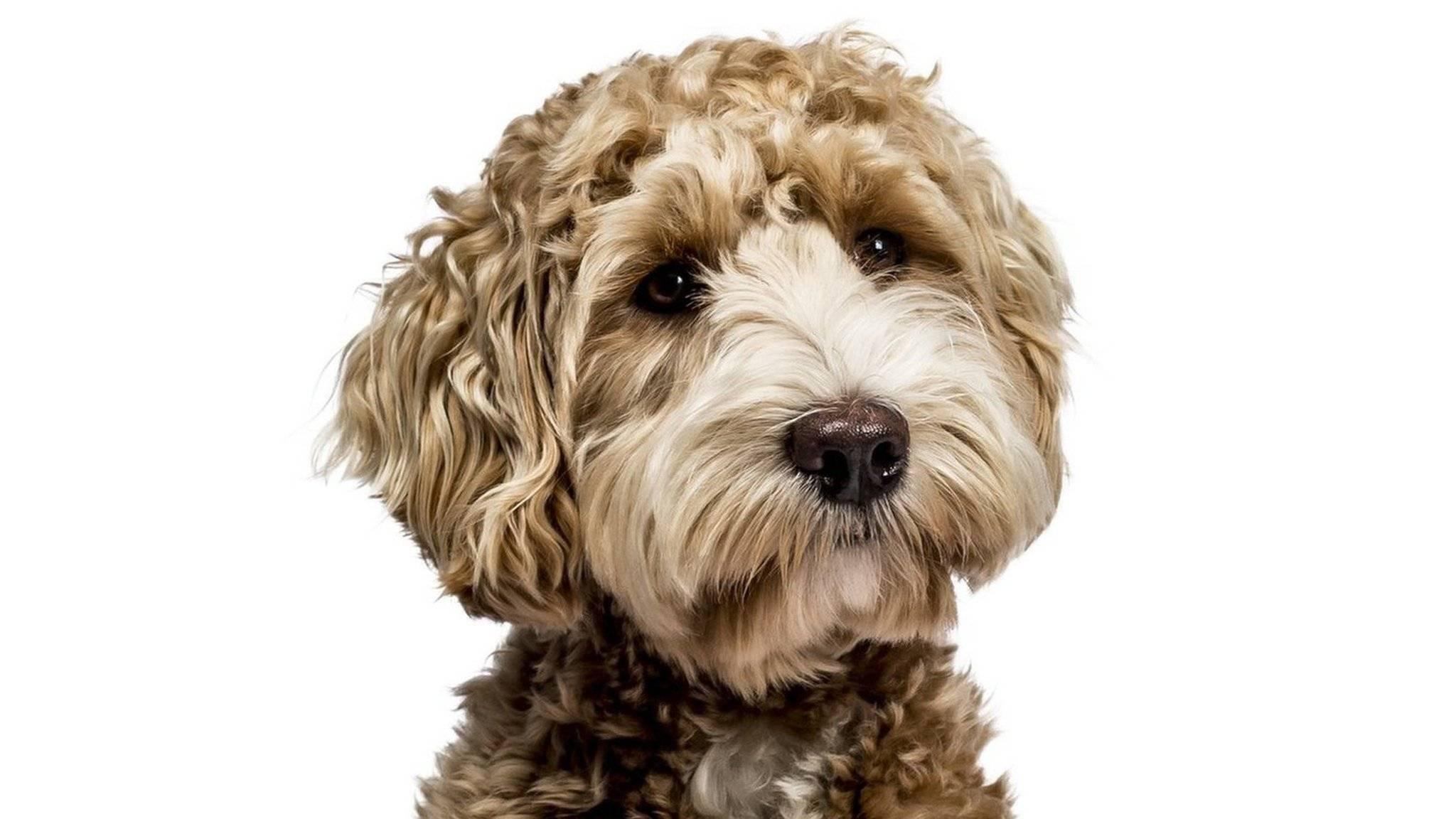 Порода собак лабрадудель ориджинал и австралийский коббердог — «плюшевый» спасатель