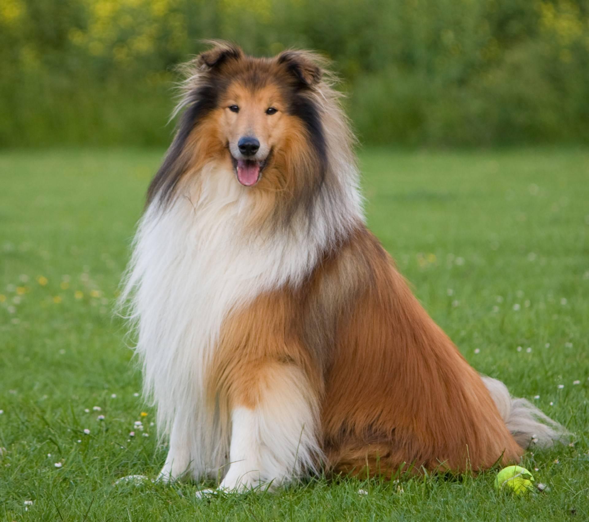 Шелти, или мини-колли – шотландская порода: характеристика собаки, внешний вид, характер и поведение, содержание и уход