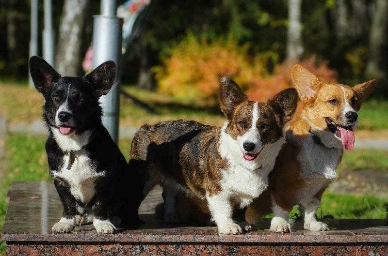 Порода собак вельш-корги-кардиган и ее характеристики с фото