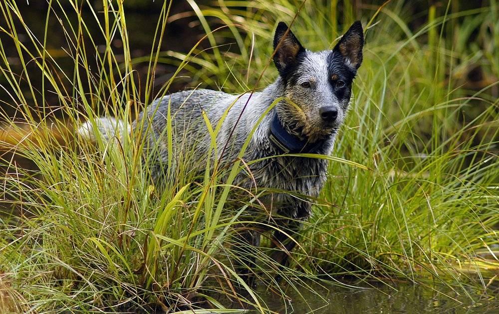 Австралийская пастушья собака — википедия
