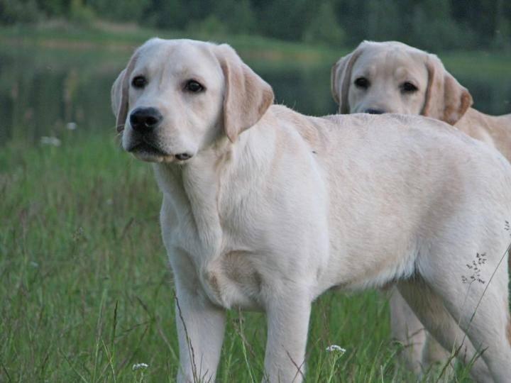 ᐉ имена для собак лабрадора, мальчиков и девочек - ➡ motildazoo.ru