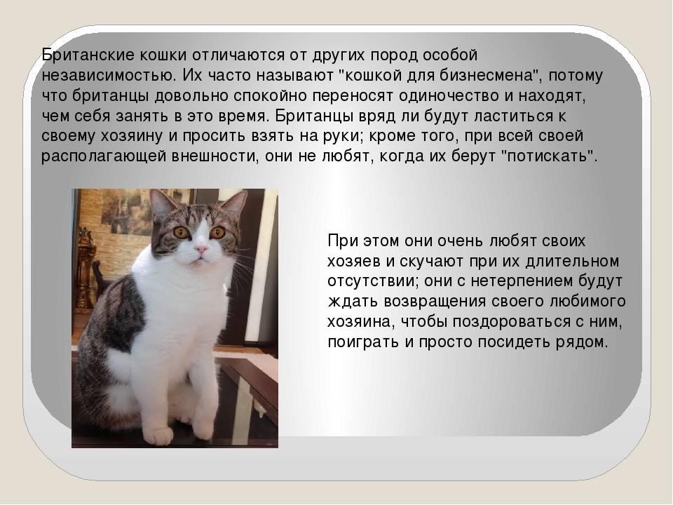 Невская кошка карнавальная порода, годубой кот