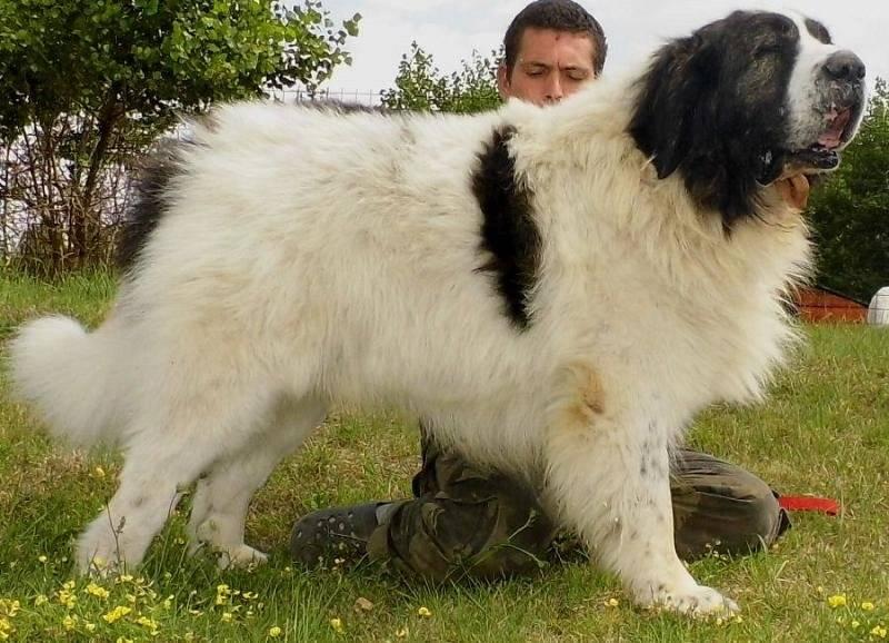 Пиренейская горная собака: фото и цена, описание, характер и уход